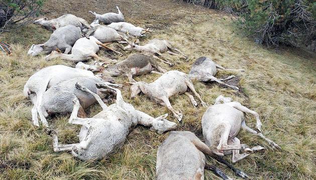 El ramat d'ovelles mortes a la zona de la vall d'Incles, ahir.