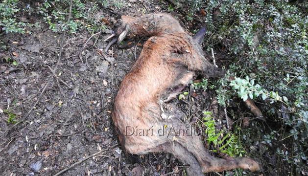 Un dels exemplars d'isard trobats morts i abandonats a l'Aldosa.