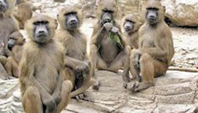 Sobre la pista dels grans micos