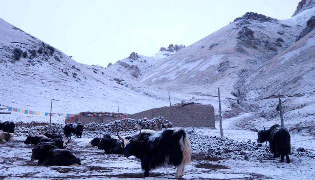 Ramat de iacs al Tibet.