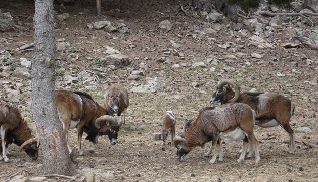 Muflons de Naturlandia que seran portats a Wild Forest