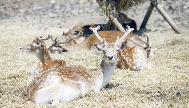 Cérvols al parc d'animals de Naturlandia.