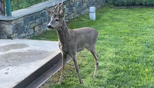 El cabirol que ha 'visitat' aquest matí a Cinca.