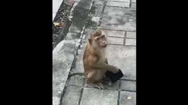 Un mico de la Índia posant-se bé la mascareta