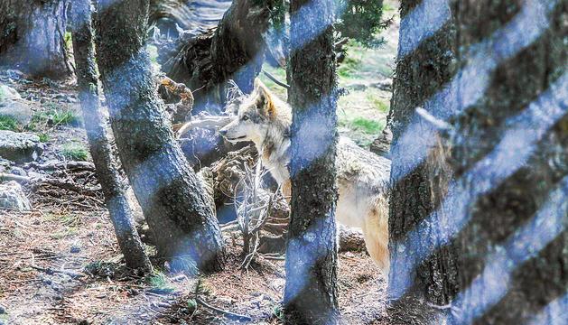 Un dels llops que hi havia fins ara a Naturland.