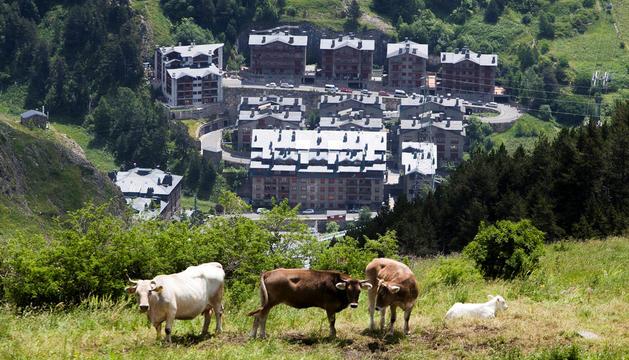 Vaques pasturant en primer pla i, al fons, una zona urbanitzada de Canillo.