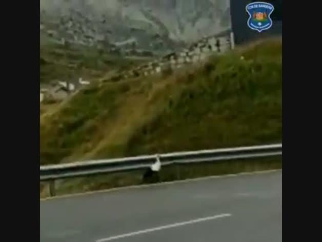 La cigonya passejant al marge de la carretera.